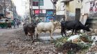 Cow protection is an issue that has dominated Indian politics since Narendra Modi was elected prime minister in 2014. Photograph: Graham Crouch/New York Times