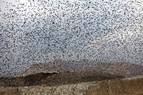 STARLING POWER: A murmuration of starlings during their traditional dance before landing to sleep on the Jordan Valley in the West Bank. Photograph: Menahem Kahana/AFP via Getty Images