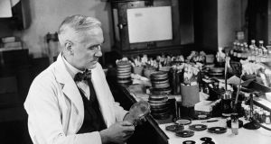 Sir Alexander Fleming,  discoverer of penicillin, studying  mould cultures at  his laboratory  in London. Photograph:   Peter Purdy/BIPs/Getty Images