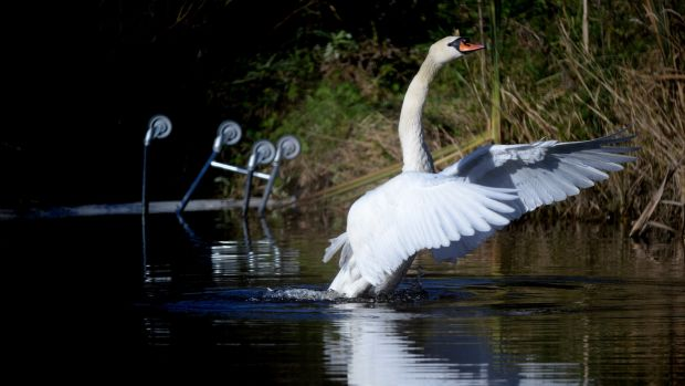 A Mute swan in a pond in Dublin with an abandoned shopping trolley in the background, pictured in 2013. File photograph: Cyril Byrne