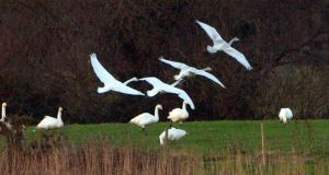 Migratory Whooper swans in North Wicklow in January 2015. File photograph: Cyril Byrne