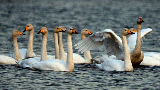 A group of Whooper swans wintering on the Vartry Lakes at Roundwood, Co Wicklow. File photograph: Cyril Byrne