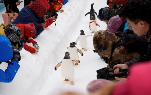 PERFORMING PENGUINS: Penguins walk on snow in front of spectators during the Harbin International Ice and Snow Sculpture Festival, near the Harbin Polarland aquarium, in Heilongjiang province, China. Photograph: China Daily/Reuters