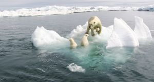 Polar bears in the the Arctic which is warming more rapidly than other parts of the world, experienced extraordinary conditions last year. Photograph: iStock