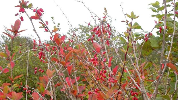 The barberry contains a valuable active ingredient, berberine, which inhibits the growth of bacteria and has been used medicinally in Austria for respiratory infections, colds and flu