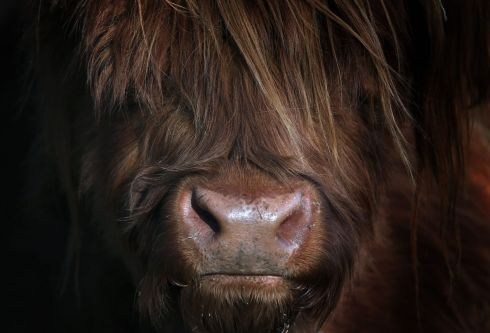 GRAZE ANATOMY: A Scottish Highland cow grazes in a field in Aitrang, southern Germany. Photograph: Karl-Josef Hildenbrand/dpa/AFP via Getty Images