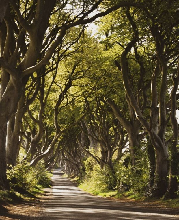 The Dark Hedges in Northern Ireland is a favourite among tourists. File photograph: Lucy Ross