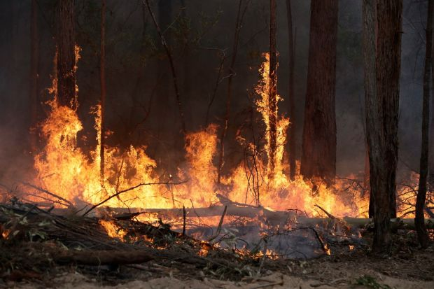 Flames from a controlled fire burn up tree trunks as firefighters work at building a containment line near Bodalla, Australia. Photograph: Rick Rycroft/AP Photo