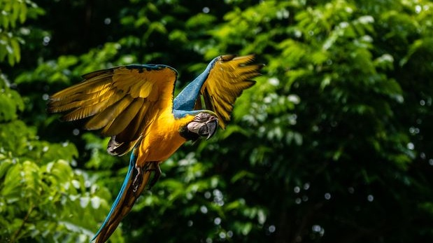 A blue-throated macaw at Madidi National Park in Rurrenabaque, Bolivia, Photograph: Federico Rios/The New York Times