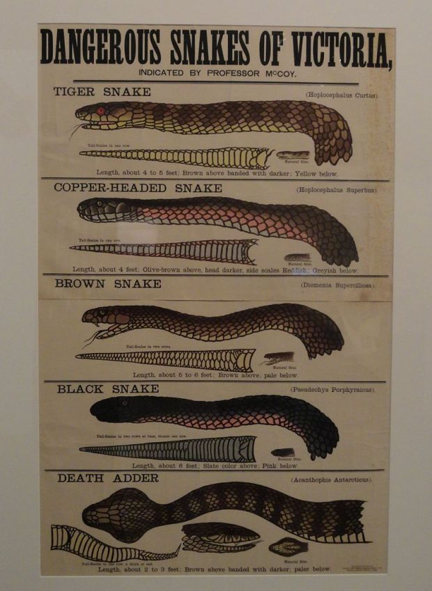 In 1877, an educational poster bearing McCoy's name was published showing the dangerous snakes of Victoria. Photograph: Wiki Commons