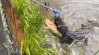 Staff push back alligators with a broom as Australian Reptile Park floods