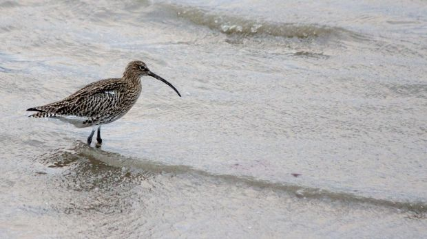 More detailed recovery plans are needed for key species including farmland birds (notably the curlew); wintering waterbirds and breeding seabirds 'to reverse devastating declines', according to BirdWatch Ireland. File photograph: Getty Images