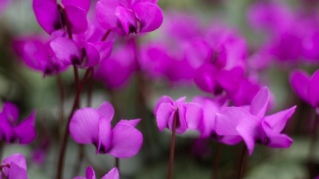 Cyclamen coum flowering in an Irish garden. Photograph: Richard Johnston.