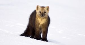 A sable is a small carnivorous mammal. File photograph: iStock