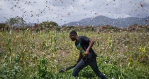 A farmer wades through a swarm of desert locusts flying over maize crops in a farm in Enziu, Kitui County, some 200km east off Nairobi. Photograph: Dai Kurokawa/EPA