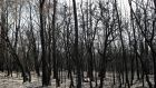 Charred trees in a patch of forest burnt during the recent bushfires near Batemans Bay, New South Wales, Australia. Photograph: Loren Elliott/Reuters