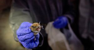 Bats are considered the probable source of the coronavirus outbreak spreading from China. Photograph: Kim Raff/The New York Times
