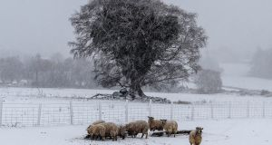 Sheep feed during heavy snowfall in Roundwood, Co Wicklow. Photograph: Garry O'Neill
