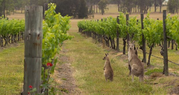 Kangaroos in a vineyard in the Hunter Valley region. Photograph: iStock