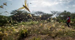 Desert locusts in northern Kenya: small planes flying low over affected areas to spray pesticides. Photograph: Ben Curtis