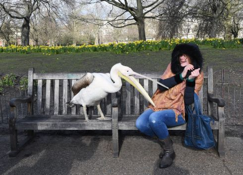 DON'T FEED THE BIRDS: A tourist poses for photographs in the sunshine with a pelican in St James' Park in London. Photograph: Facundo Arrizabalaga/EPA