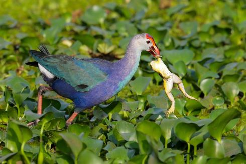A Purple Swamphen (Porphyrio porphyrio) also known as the Purple coot catches a frog on the marshy wetland in the suburb of Colombo, Sri Lanka, 12 February 2020.  Photograph : EPA