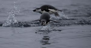 Chinstrap penguins swim in Antarctica. The  penguin colonies, which are dependent on sea ice, have declined by more than 50 per cent. Photograph: Ueslei Marcelino/Reuters