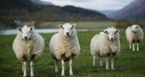 The ISPCA said pregnant ewes can be seriously injured in a panic to escape from chasing dogs. Photograph: iStock