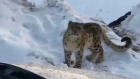 Solitary and elusive snow leopard spotted in the Himalayas