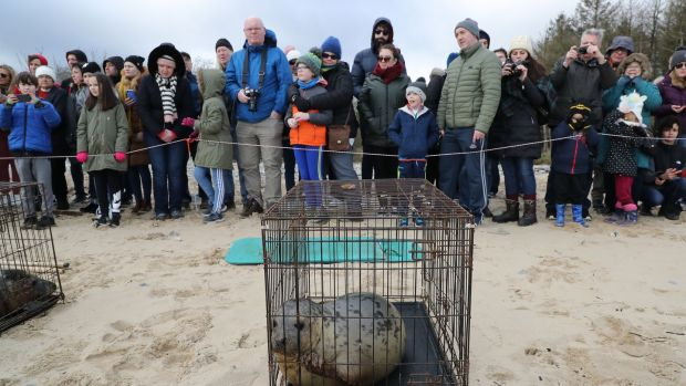 A grey seal pup which is about to be returned to the sea at a beach north of Courtown, Co Wexford. Photograph: Nick Bradshaw