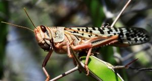 "Climate conditions had created a situation that allowed an ""unprecedented"" number of locusts to gather, a spokeswoman for the UN Food and Agriculture Organisation said. Photograph: Feisal Omar/Reuters"