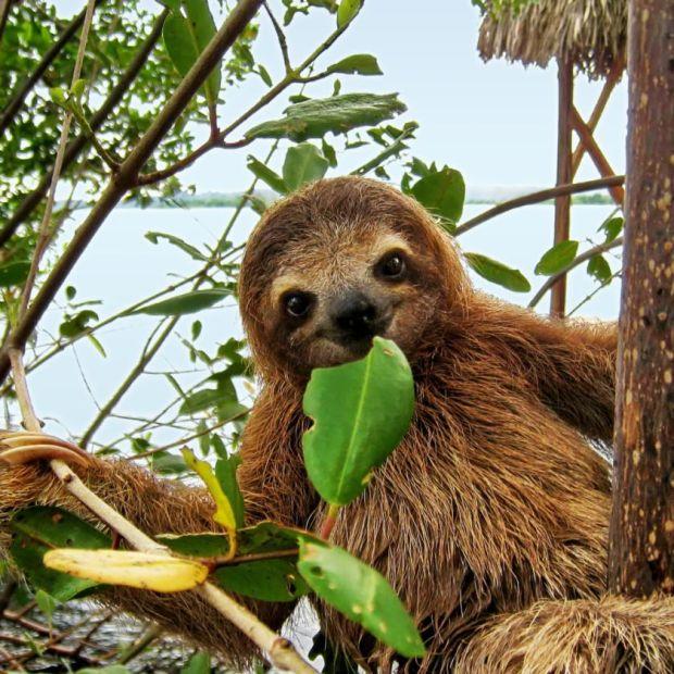 Mignon bébé paresseux à trois doigts dans la mangrove, Amérique centrale