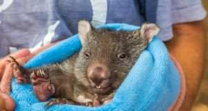 'Eóghan will be the last wombat I hand raise before I head home to Ireland, for good'. File photograph: iStock/Getty