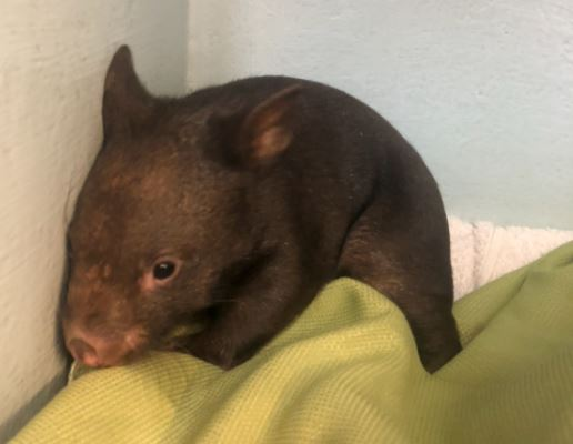 Eóghan, the wombat, was rescued as a baby.