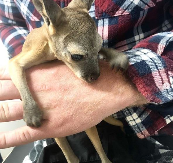 An orphaned kangaroo joey gets a healthcheck before going to a carer.
