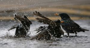 A group of starlings bathe in a puddle in Howth on Friday. Photograph: Crispin Rodwell/The Irish Times.