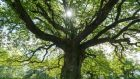 An oak tree will draw down enough carbon to offset 198 flights from Dublin to London in its lifetime. Photograph: Getty Images