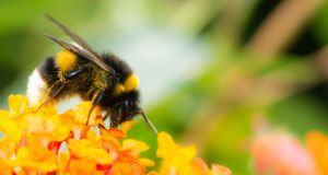 A scientific study found the richness of bumblebee species declined rapidly between 2000 and 2014. File photograph: Getty Images/iStockphoto