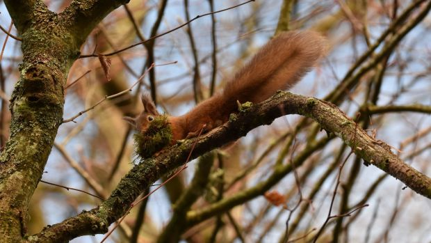 A red squirrel. Photograph: Josh Twinning/PA Wire.