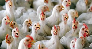 File photograph of chickens. Photograph:.Chor Sokunthea/Reuters