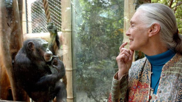British primatologist Jane Goodall communicates with the chimpanzee Nana at the zoo of Magdeburg, Germany in June 2004. Photograph: Jens Schlueter/AFP