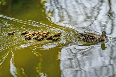 A paddle of 14 ducklings follow their mother as they forage for food along the Kennet & Avon Canal, between Bradford on Avon and Bath. Photograph: Ben Birchall/PA Wire
