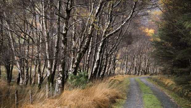 Silver birch trees are frequently found in parks, gardens and along roadsides. Photograph: Getty Images