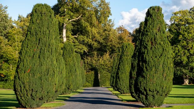 The Yew Walk at Emo Court in Co Laois: Yew berries are poisonous to humans and cut foliage is poisonous to animals. Photograph: Getty Images