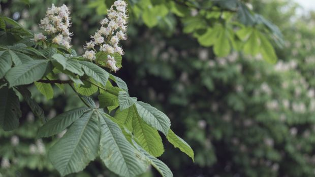 The flowers of a horse chestnut tree. Photograph: Getty Images