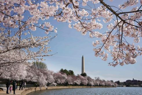 PRETTY IN PINK: The Washington Monument behind cherry blossoms at the Tidal Basin in Washington, DC. Photograph: Mandel Ngan/AFP via Getty Images