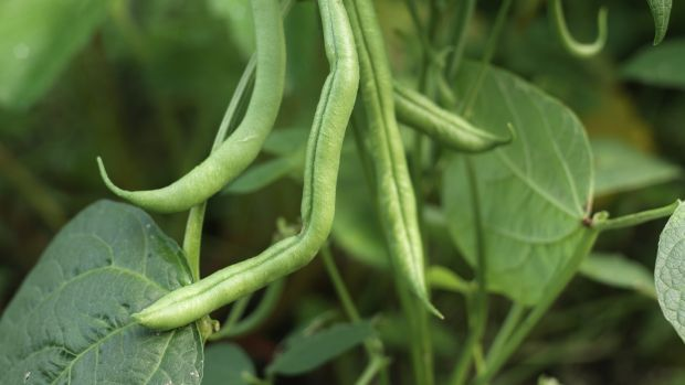 French beans growing in an Irish garden. Photograph: Richard Johnston