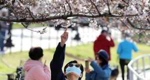 Despite government warnings to maintain 'social distancing' and avoid crowds due to the threat of the novel coronavirus, tourists continue to visit the Tidal Basin as peak bloom for the cherry trees approaches in Washington, DC. Photograph:  Chip Somodevilla/Getty