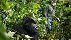 Virunga National Park, home to about a third of the world's mountain gorillas, has barred visitors until June 1st over fears of Covid-19 infection. Photograph: Jerome Delay