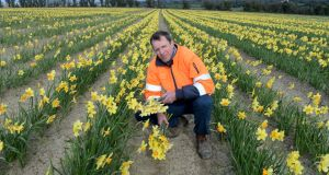Darragh McCullough owner of Elmgrove farm, Gormanston, in 75 acres of daffodils. Photograph: Alan Betson